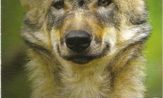 Flyer vom Wolfcenter
